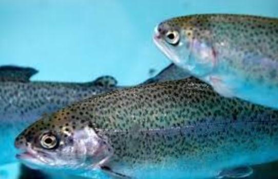 Alabalık Üretimine Devlet Desteği 2021 (Su Ürünleri Kredisi)