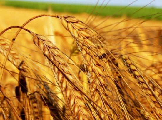 Buğday Ne Kadar Para Kazandırır (HESAPLAMA)