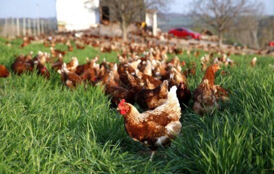 Tavuk Çiftliği Desteği 2021 Salma Tavuk Projesi